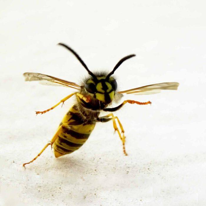 Wespen sind ungeliebte Hausgäste, deren schmerzhafte Stiche gefürchtet sind.