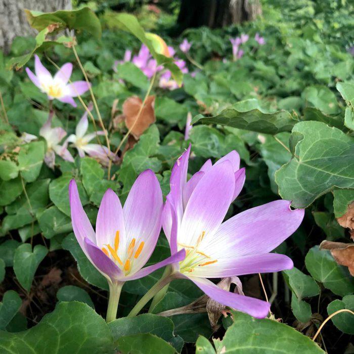 Herbstzeitlose sind giftig! Sie dürfen auf keinen Fall mit Herbstblühenden Krokussen verwechselt werden.