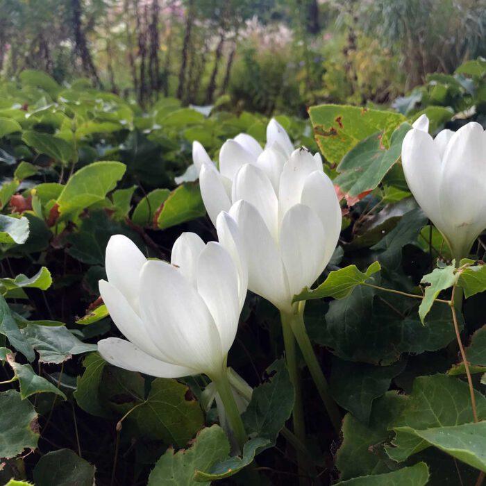 Der Herbst treibt eigenartige Blüten. Weisse Exemplare der Herbstzeitlosen sind selten.