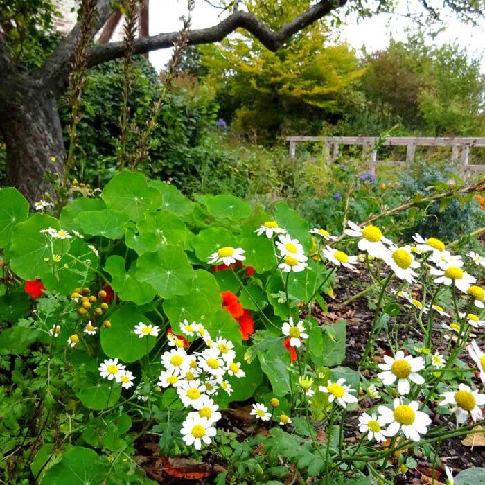 Blühendes Balsamkraut und Kapuzinerkresse im Garten des Klosters Mariensee.