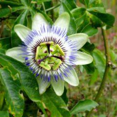 Die Blütenteile der Passionsblumenblüte sollen die Marterwerkzeuge der Passion Christi versinnbildlichen.
