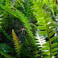 Tüpfelfarn ist ein einheimischer wintergrüner Waldbewohner mit gegenständig gefiedertem Blattwerk.
