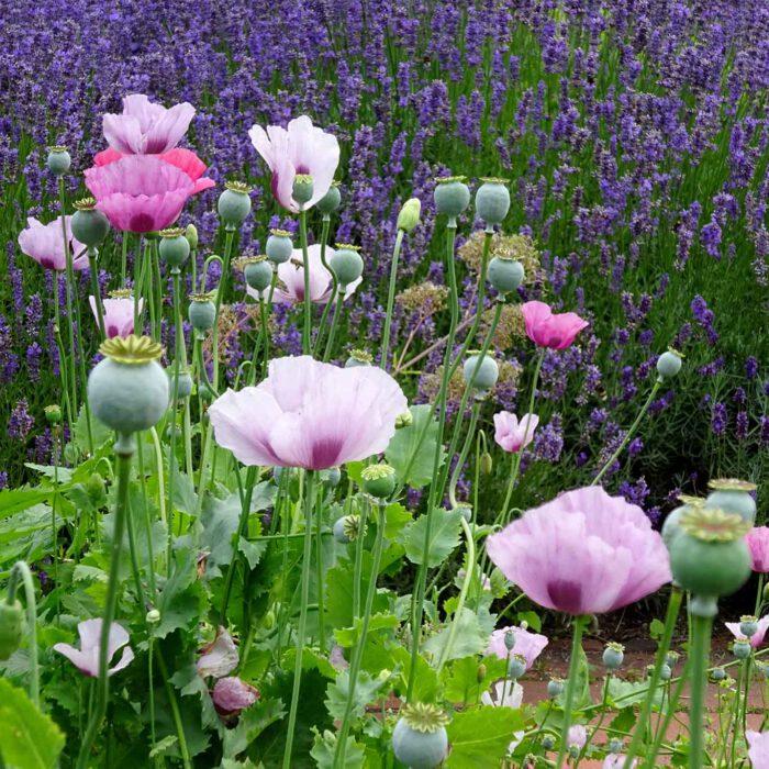 Da staunt der Mohn über den Lavendel wie er so schön leuchten kann.