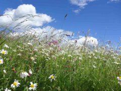Bunte Sommerwiesen sind nicht nur eine Freude für die Augen, sondern wegen ihrer Vielfalt auch wertvolle Futterflächen für viele Insekten.