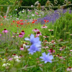 Wegwarte, Echinacea und die Blüten des Mohns wetteifern um die Aufmerksamkeit des Auges.