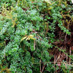 Bruchkraut ist ein typischer Bodendecker im Wald, an Wegen und feuchten Freiflächen.