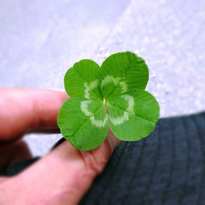 Vierblättrige Kleeblätter gelten gemeinhin als Glückbringer. Sie sind jedoch reine Anomalien der Natur.