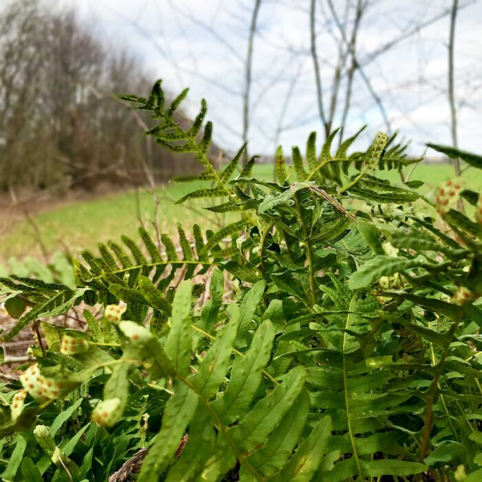 Das Tüpfelfarn wird auch Engelsüss genannt. Seine Wurzeln enthalten einen natürlichen Süssstoff.
