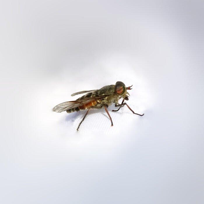 Nervig wie Fliegen. Blutrünstig wie Mücken. Gefürchtet wie Wespen. Bremsen sehen harmlos aus, sind es aber nicht.