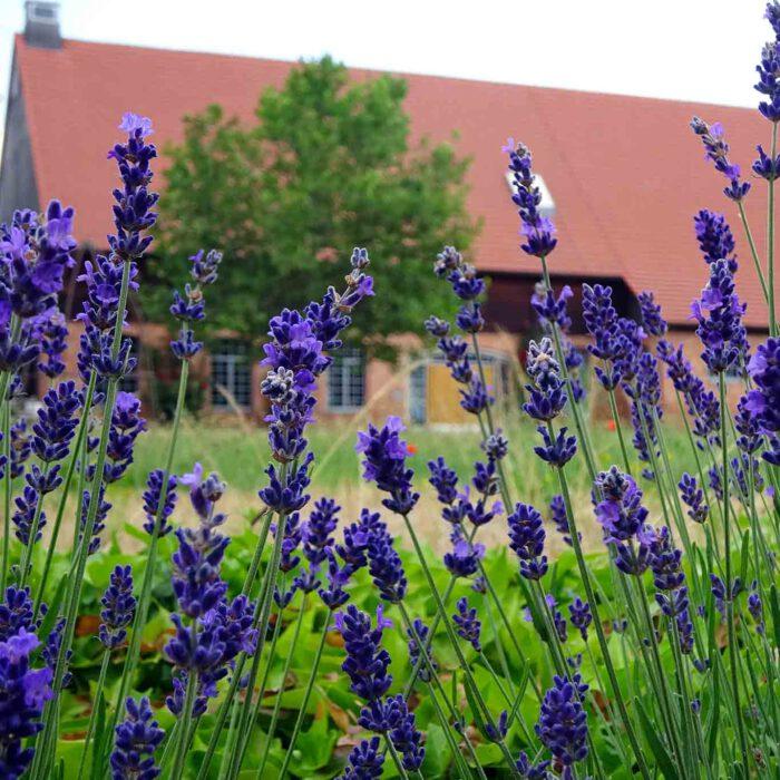Lavendel ist der Klassiker in der Bepflanzung von Klostergärten.