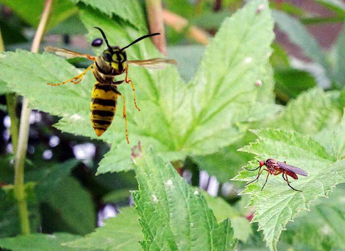 Mücken lieben den Giersch. Der Giersch im Garten bietet Mücken einen idealen Lebensraum.