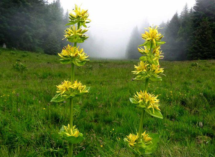 Die Wurzeln des gelben Enzians werden für Magenmittel und Verdauungsschnäpse in Alkohol eingelegt. Die Bitterstoffe wirken verdauungsfördernd.