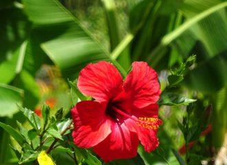 Hibiskusblüten sind begehrte Farbgeber und Aromaspender für Kräutertees.