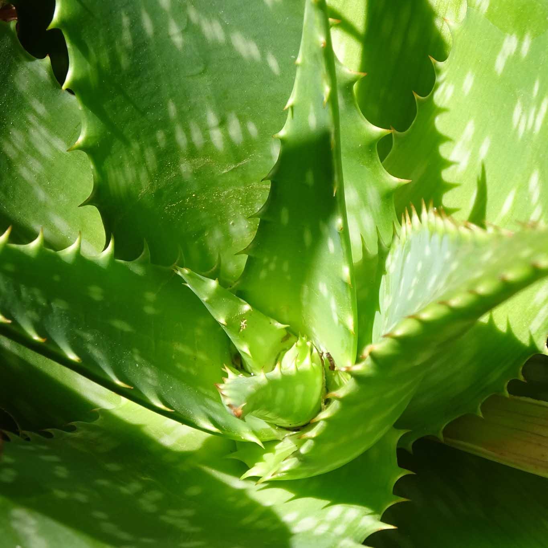 Aloe Vera gilt mit seinen fetten wasserspeichernden Blättern als Feuchtigkeitsspender für die Haut.